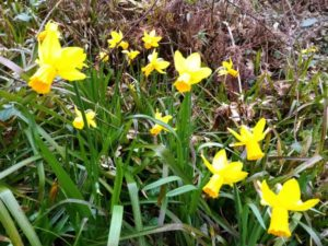start of spring - daffodils